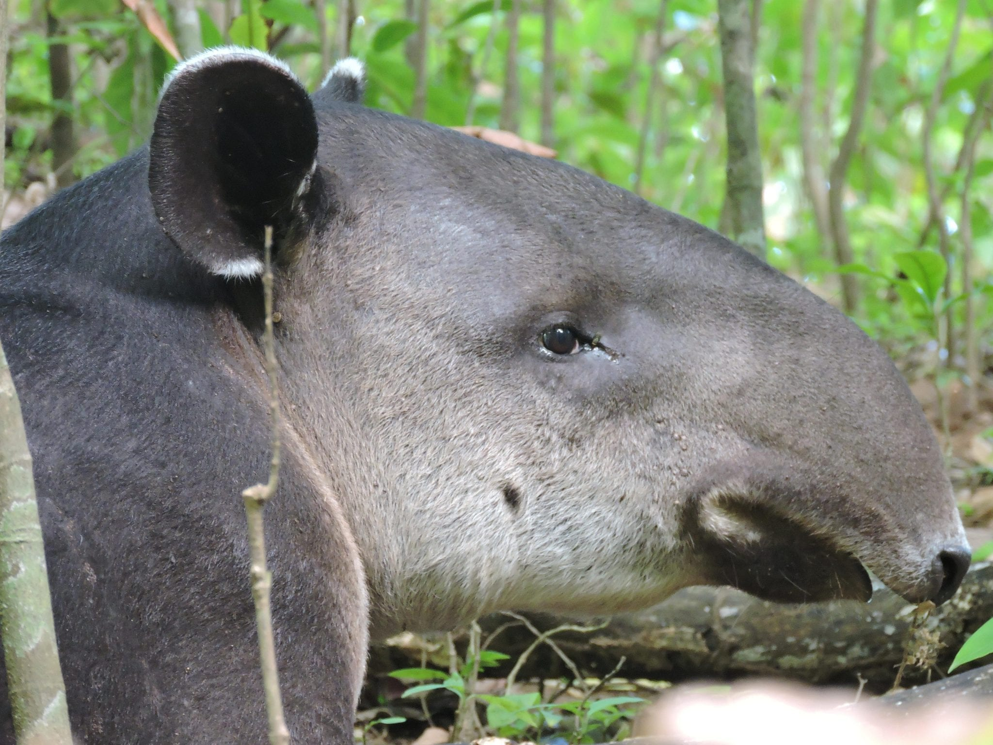 One of the treasures of Corcovado National Park is tapir. The best chances to see it are given on 2 and 3 days tours in Corcovado