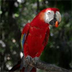 Scarlet Macaw is a rare parrot, which has amazing colors on the wings and the back. All Corcovado tours have a high chance to see the parrot in its wild habitat.