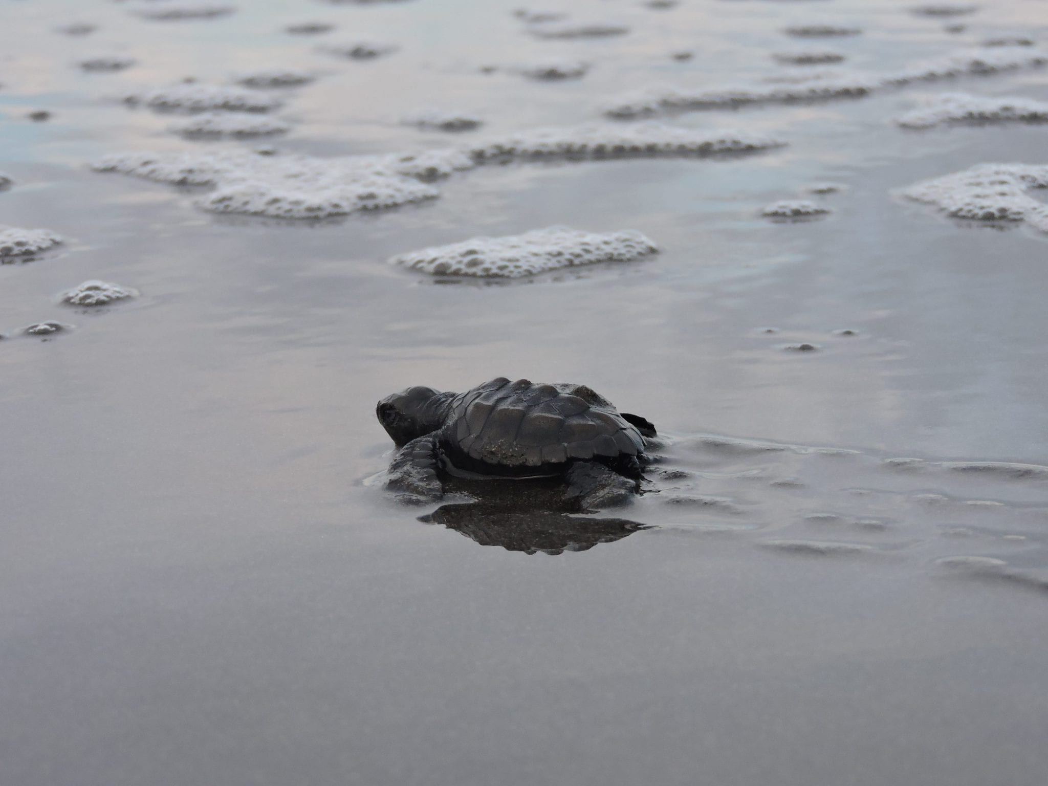 Turtles feel safe and calm on the Osa Peninsula coast, and breed freely. Tourists love watching the new generation of turtles escaping to the ocean and hiding in the waves.