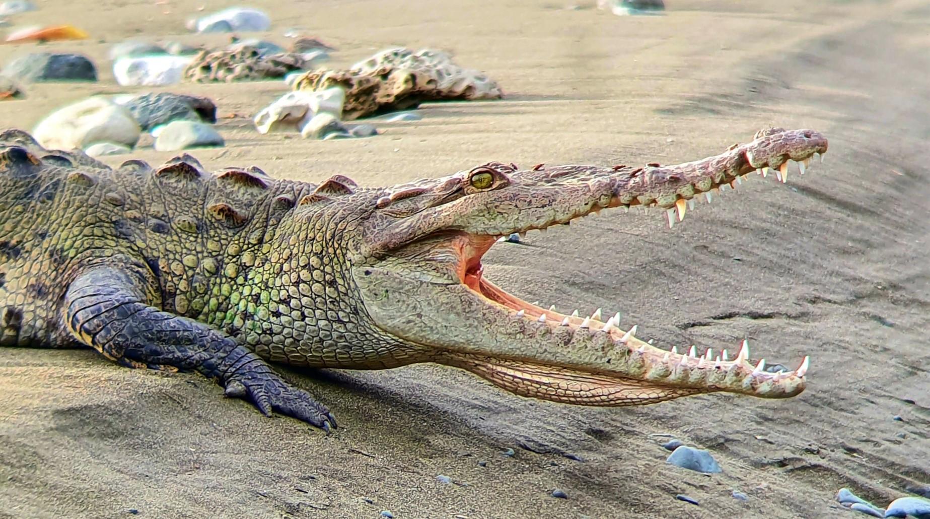 Crocodile Osa Peninsula